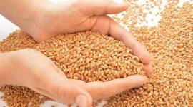 Правительство Молдовы «освежит» запасы пшеницы в госрезерве