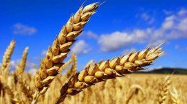 Франция продолжает снижать прогнозы экспорта мягкой пшеницы в сезоне 2016/17