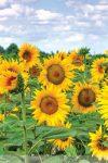Реакция растений культуры подсолнечника на динамику колебаний среднемесячных индексов метеофакторов в условиях Молдовы