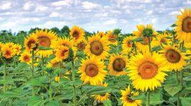 Combaterea buruienilor la cultura florii-soarelui