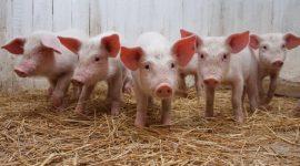 Появление и распространение африканской свиной чумы в Молдове может нанести огромный экономический ущерб