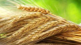 Прогноз мирового производства пшеницы в 2016/17 МГ повышен